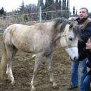 Arabski žrebec - Izola