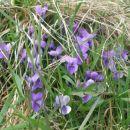 vijolice na travniku...
