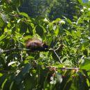 Veverica na češnji