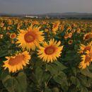 2021_07_23 Krško polje - sončnice