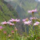 alpske nebine, Visoka reber