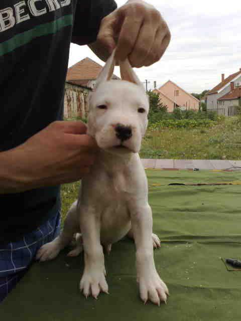 Dogo argentino - foto