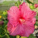 močvirski  hibiscus