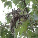 gosenice na češnji