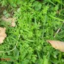 sladki pelin Artemisia annua