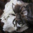 pajek - semani