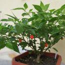 chili varieties