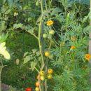 Gajo de Melon - on the plant