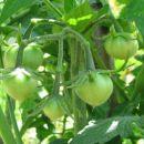 Dark Copia - baby heart fruits