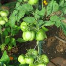 Green Bell Pepper - on the plant