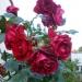 moje ruže :)