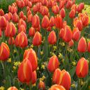 tulipani Keukenhof Holandija