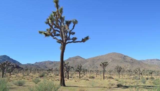 Potep po zda- yoshua tree - foto