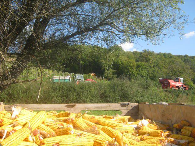 Kukuruza 2012 - foto povečava