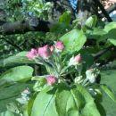 Jabolko2