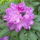 Rododendron