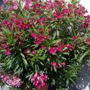 Oleander 1