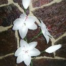 bela lilija