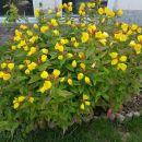 grm 4 rumen cvetenje 05062016