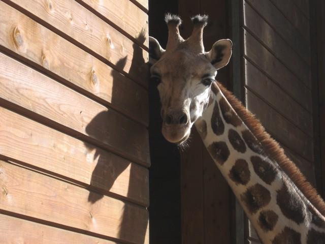 Nov ljubljanski Žirafko se čudi folku