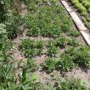 Krompir kifeljčar že veselo raste