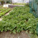 Kifeljčar krompir