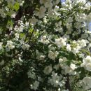 Cvet jasmina