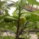 plodovi smokve