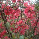 cvetoč grm
