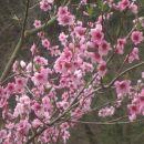 cvetoče drevo