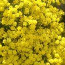 rumene rožice
