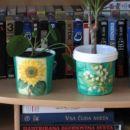 Cvetlična lončka, eden iz posode v kateri je bilo zelje, v drugi pa kilski jogurt
