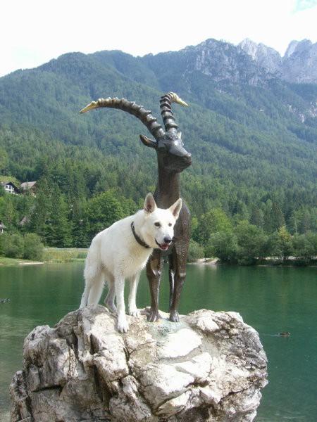 Beli švicarski ovčar - Page 4 8849546