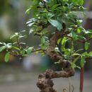 Carmona Macrophylla