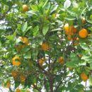 Drevo polno pomaranč v mestu Sali