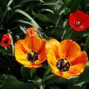 Tulipani z vrta