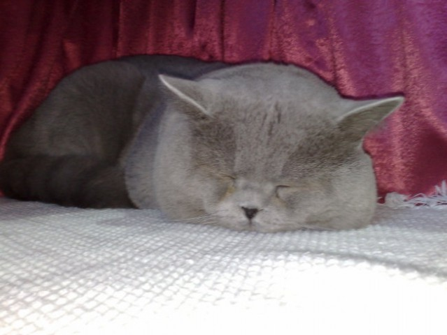 Mačja razstava LJ. 08 - foto