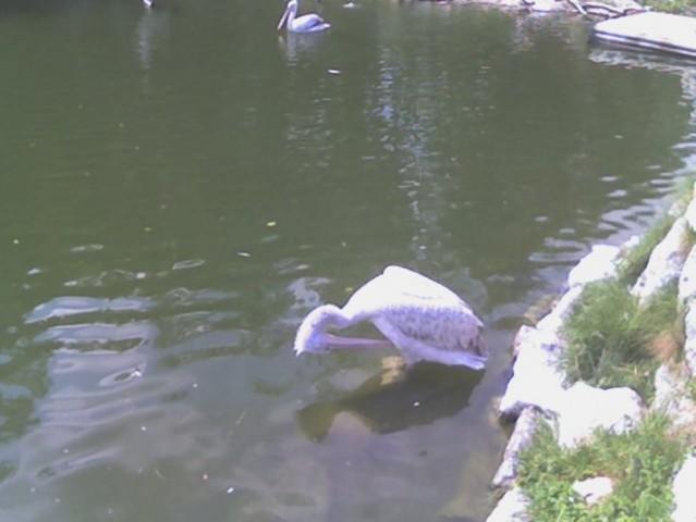 Pelikan mi je pa prov fajn pozirov =)