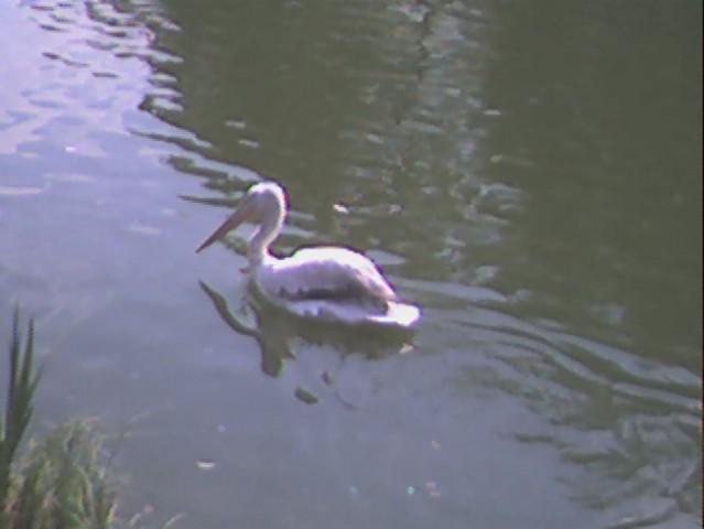 Pelikan se vozi po vodi =)