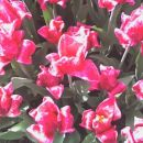 roza tulipani, iiii =)