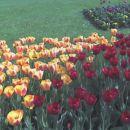 spet tulipani =)