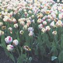 večinoma belo-rdeči tulipani =)