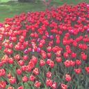 rdeči tulipani =)