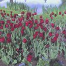 temno rdeči tulipani... =)