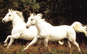Konji - foto povečava