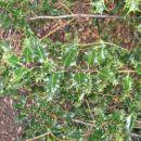 Kew Gardens - Holly