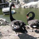in črni labodi
