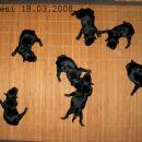 Miniature Schnauzer ( Black) Ostenjeni 18.03.2008 Tara's Butch Sassidy  x Pachino Hilton