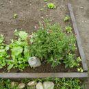 Zdravilni žajbelj, ne sme manjkati na vrtu....