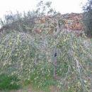 pod težo plodov so bila nekatera drevasa kakor ovenjena
